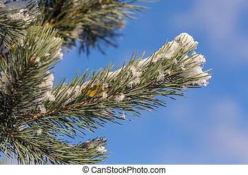 pine branches closeup