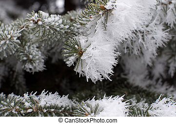 Pine branches covered with hoarfrost. Small deep of field