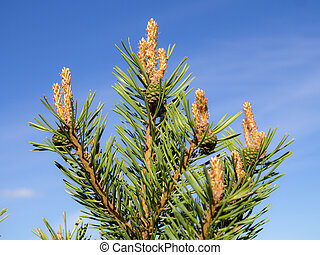 pine branches in early summer