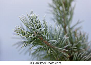 Pine branches in hoarfrost