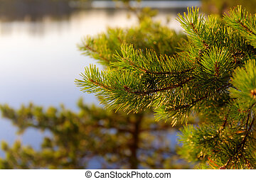 pine branches in the evening light