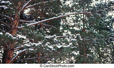 Pine branches in the snow.