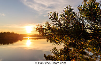 pine branches on a background of a sunset