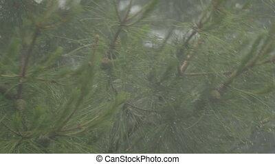 Pine branches under rain