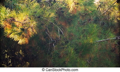Pine branches with cones swaying in summer day - Pine...