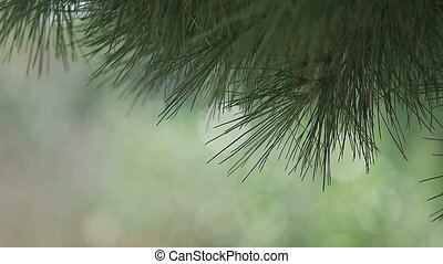 pine branches with copy space