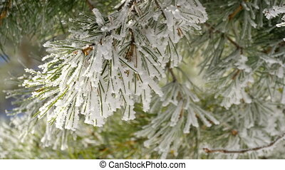 Pine branches with frost - Winter frost on pine tree...