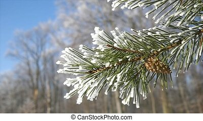 pine branches with ice and snow, winter nature background