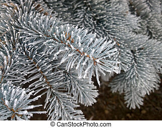 Pine branches with snow on the frozen needles