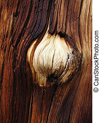 white burl on dark pine tree trunk