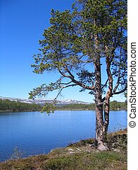 Pine by a lake