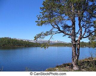 Pine by lake