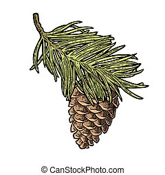 Pine cone and branch of fir tree. Vector vintage black engraving illustration.