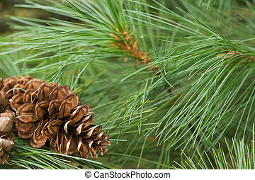 Pine Cone Background - Pine cone and pine needles...
