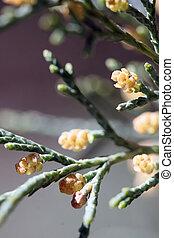 Pine Cone Buds