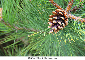 Pine cone on branch of tree outdoors close-up view