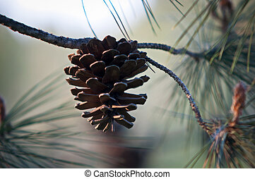 Pine Cone . - Pine Cone And Branches .