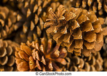 Pine cones on evergreen branches.