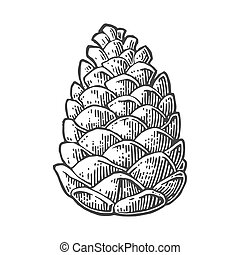 Pine cone. Vector vintage black engraving illustration.