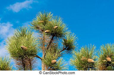 pine cones against the blue sky