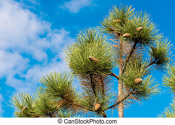pine cones against the blue sky