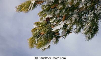 Pine Cones in Winter Snow