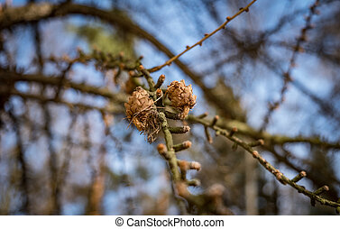 Pine cones on a close up branch