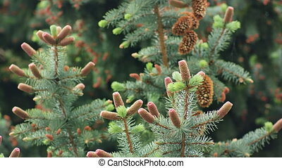 Pine Cones on a Pine Branch.
