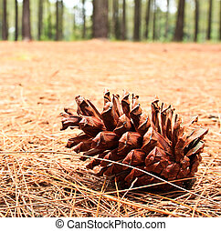 Pine cones on the ground.