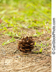 pine cones on the ground