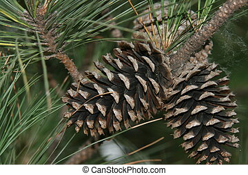 Pine Cones - Pine cones hanging on the tree