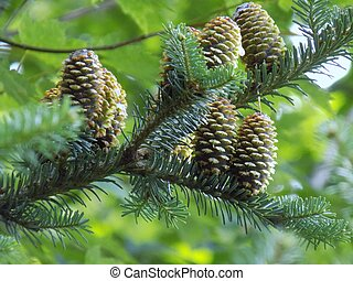 Pine Cones - Pine cones on living branches.
