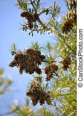 Pine cones ripen and scatter their