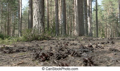 Pine cones scattered on the ground of the forest