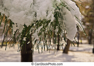 pine covered snow
