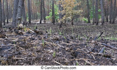 Pine Forest After the Fire, Burnt Ground, Charred Trees....