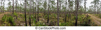 Pine Forest and Young Palms in Everglades Panorama