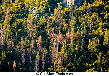 Pine forest at Yosemite National Park