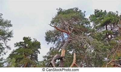pine  forest blue sky clouds landscape nature time lapse