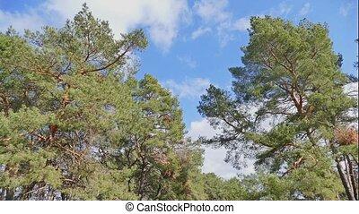 pine forest blue sky clouds nature landscape time lapse -...