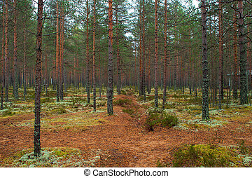 Pine forest, gloomy autumn landscape. Pine and moss