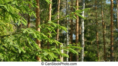 green needles spruce - Pine forest green needles spruce in...