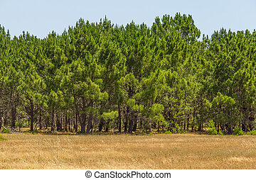 Pine forest in a portuguese farm