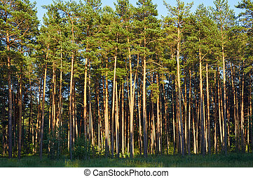 Pine forest in evening sunlight