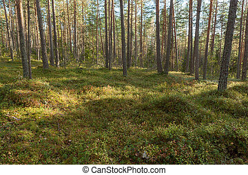 Pine forest in Finland