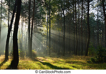 pine forest in morning sunlight the mist