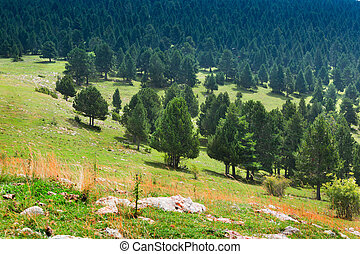 pine forest in mountain