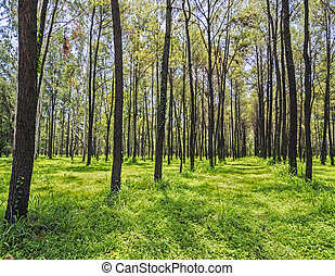 Pine forest in rainy season