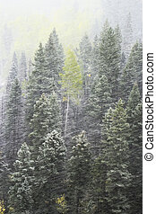 Pine forest in snowstorm, Mount Sneffels Range, Colorado, ...