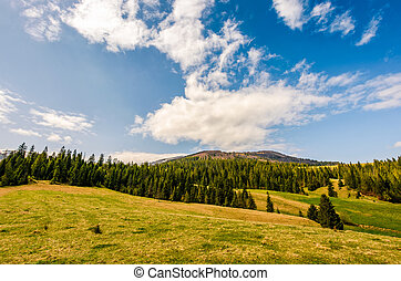 pine forest in summer landscape - Pine forest at the foot of...